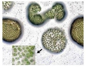 Microcystis colonies seen through a microscope. Source: Dr. Hans W. Paerl, UNC-CH Institute of Marine Sciences.